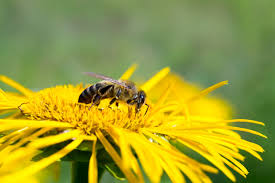 Honeybee collecting pollen from spring dandelions near to a colony of bees to be removed