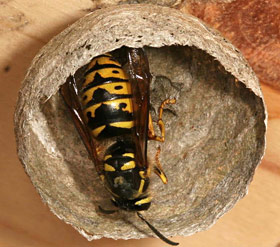 A Queen wasp constructing the beginning of her nest 2020