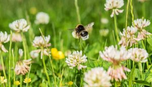 Bumblebee flying over white clover flowers in summer