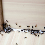 Ants in a burnley house needing removing by a pest control company