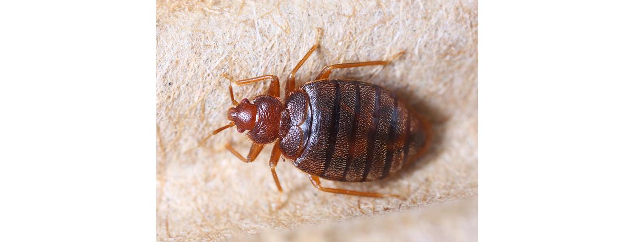 pest-control-burnley-bedbugs