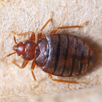 Bed bug infestation in Nelson house