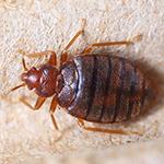 Bed bug infestation in burnley house