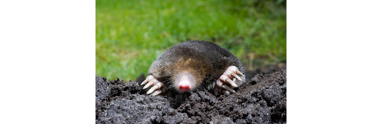 Mole Catching In Burnley