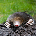 Mole needing to be caught by burnley pest control professionals