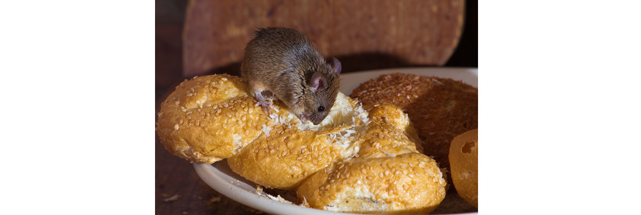 Mouse Pest Control In Burnley
