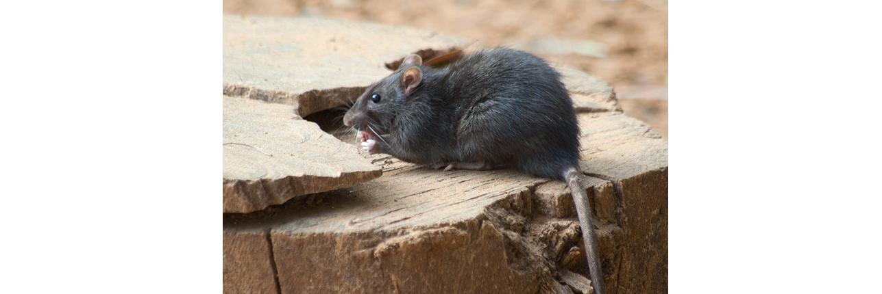 Rat Pest Control Burnley