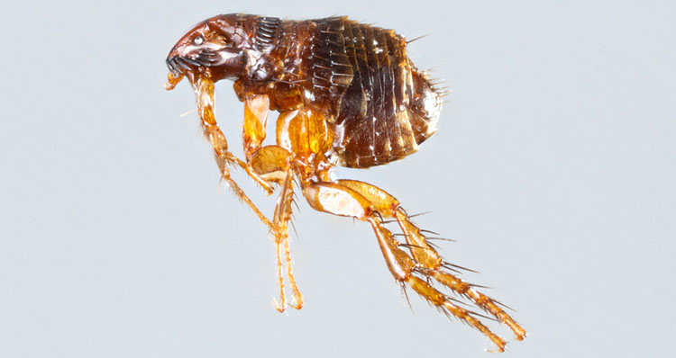 close up of single flea with rear legs extended