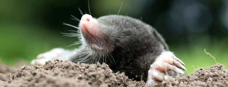 How To Keep Moles Out Of Your Garden