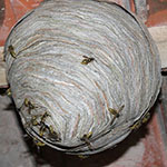wasp nest in burnley house